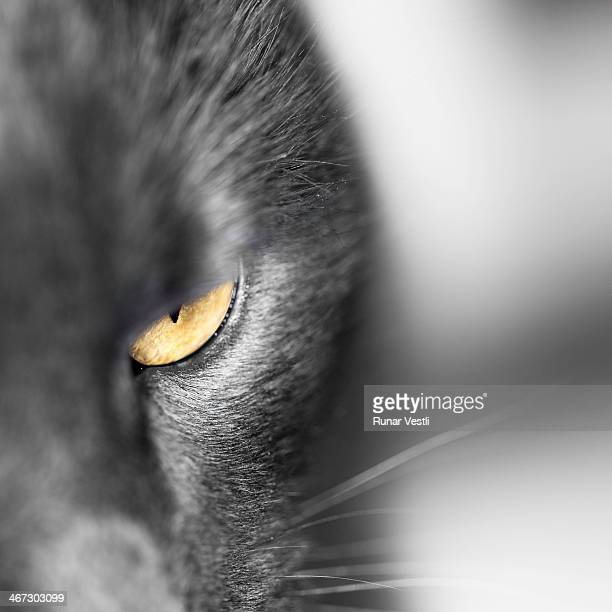 A gray cat face with a yellow eye