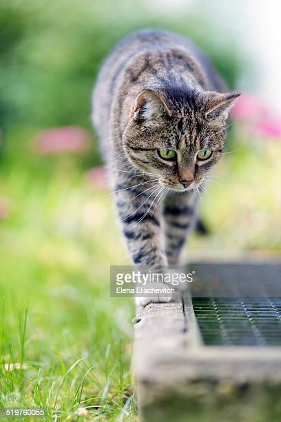 Gray cat walking outdoors