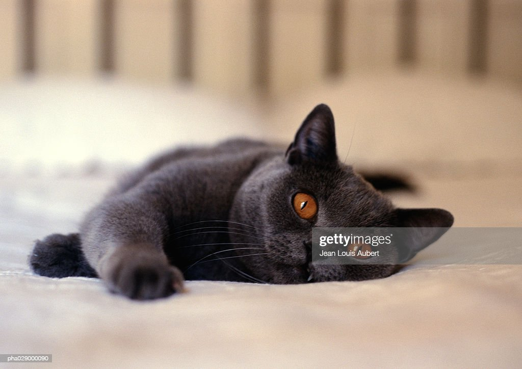Gray cat with orange eyes lying on bed, frontal view of face and front paw : Stock Photo