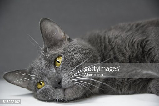 gray cat with yellow eyes on a gray background : Stock Photo