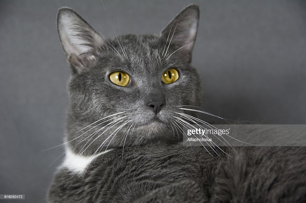 gray cat with yellow eyes on a gray background : Foto de stock