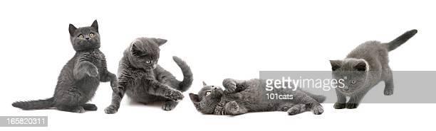 Grigio gatti