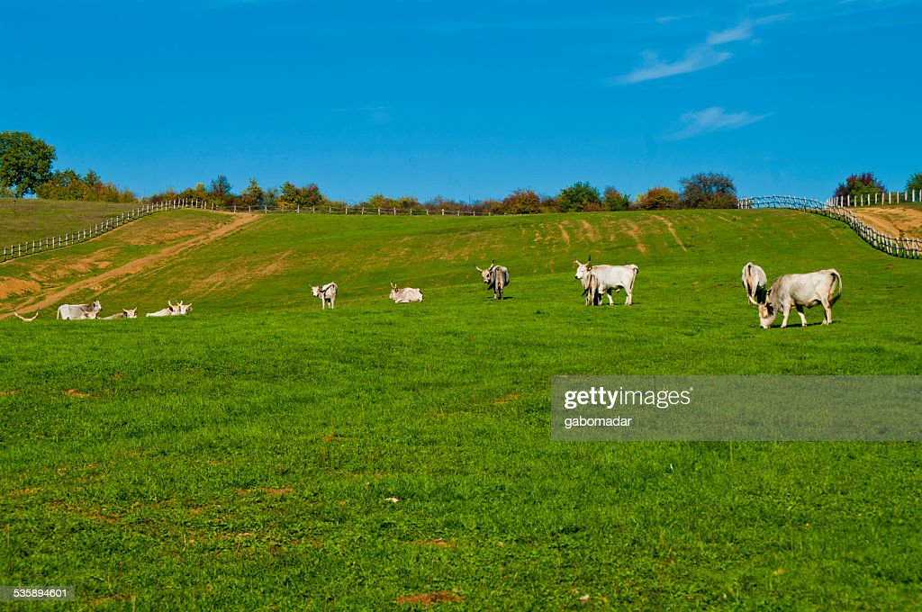 Grigio cattles mangiare sul campo : Foto stock