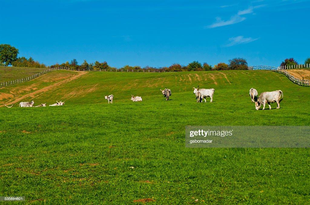 Gray cattles Essen auf dem Feld : Stock-Foto