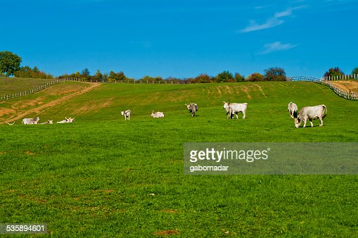 Gray cattles eating on the field : Stock Photo