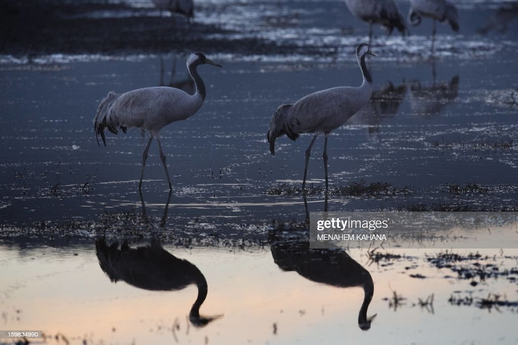 Gray cranes are seen at sunset at the Agamon Hula Lake in the Hula Valley of northern Israel on January 21, 2013. More than half a billion birds of some 400 different species pass through the Jordan Valley to Africa and go back to Europe when summer comes. Some 50,000 gray cranes stayed this winter in the Agamon Hula Lake instead of migrating to Africa, taking advantage of the safety of this artificial water source. Local farmers feed the birds with corn in a bid to prevent them from destroying their agricultural fields.