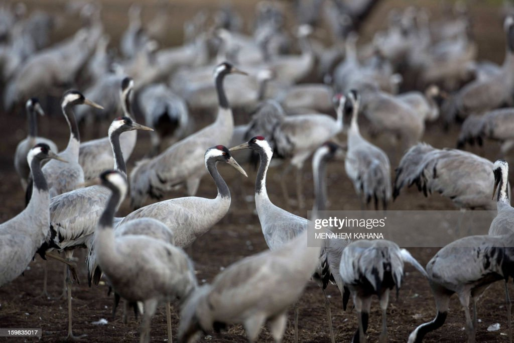 Gray cranes are seen at sunset at the Agamon Hula Lake in the Hula Valley of northern Israel on January 21, 2013. More than half a billion birds of some 400 different species pass through the Jordan Valley to Africa and go back to Europe when summer comes. Some 50,000 gray cranes stayed this winter in the Agamon Hula Lake instead of migrating to Africa, taking advantage of the safety of this artificial water source. Local farmers feed the birds with corn in a bid to prevent them from destroying their agricultural fields. AFP PHOTO/MENAHEM KAHANA