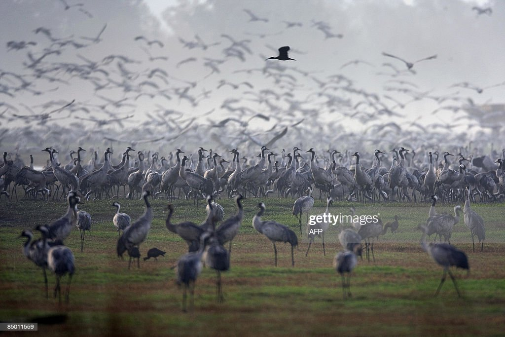 Gray cranes flock over the Agamon HaHula Lake at the Hula valley in northern Israel on February 24 2009 More than half a billion birds of some 400...