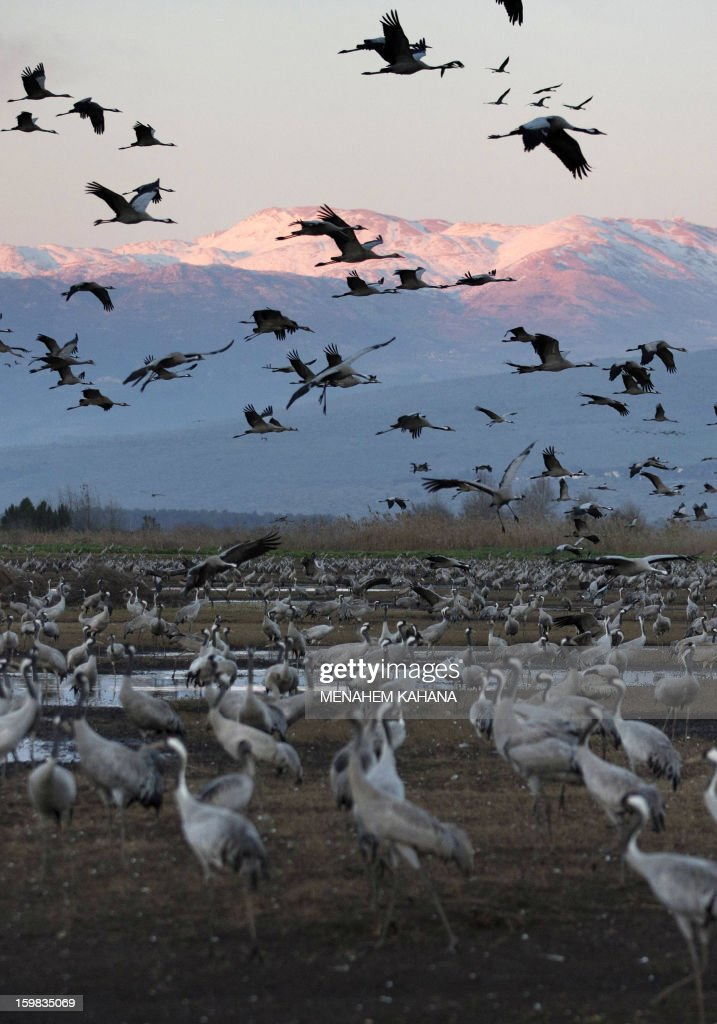 Gray cranes fly at sunset above the Agamon Hula Lake in the Hula Valley of northern Israel on January 21 2013 More than half a billion birds of some...