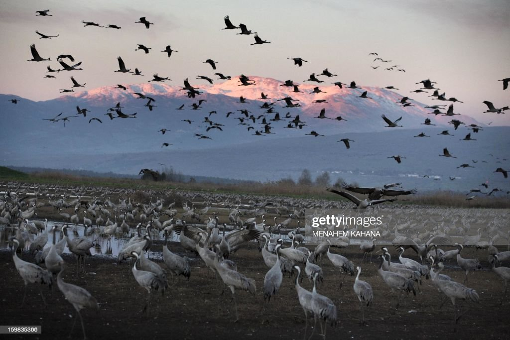 Gray cranes fly at sunset above the Agamon Hula Lake in the Hula Valley of northern Israel on January 21, 2013. More than half a billion birds of some 400 different species pass through the Jordan Valley to Africa and go back to Europe when summer comes. Some 50,000 gray cranes stayed this winter in the Agamon Hula Lake instead of migrating to Africa, taking advantage of the safety of this artificial water source. Local farmers feed the birds with corn in a bid to prevent them from destroying their agricultural fields. AFP PHOTO/MENAHEM KAHANA