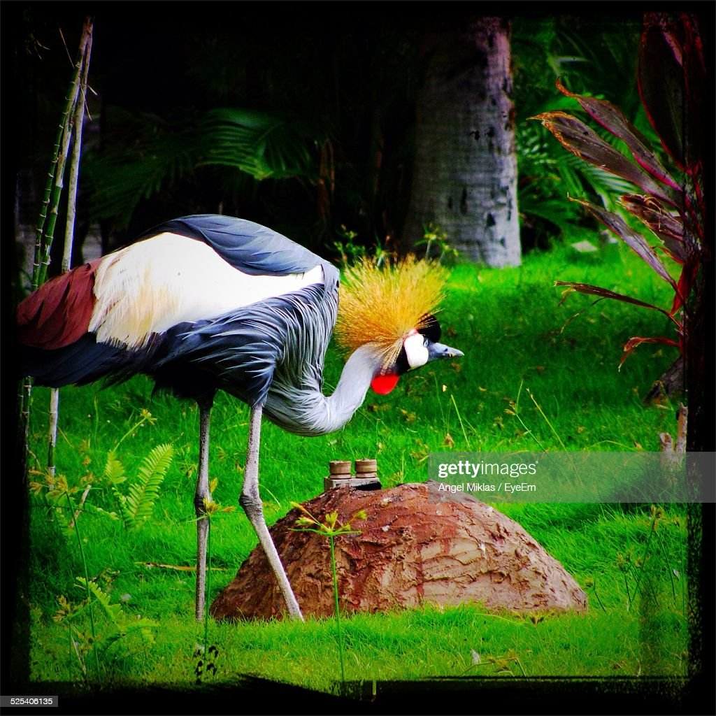 Gray Crowned Crane In Forest