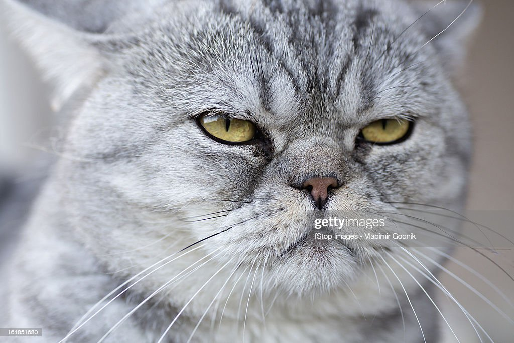 A gray domestic cat looking serene : Stock Photo