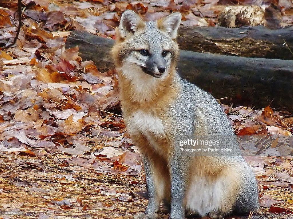 Gray Fox, Close Up : Stock Photo