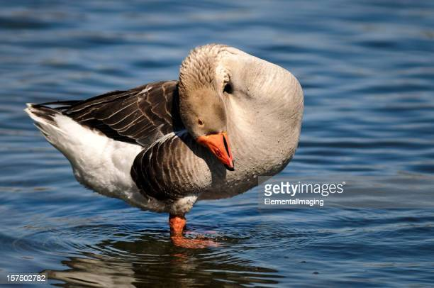 Gray Goose Preening