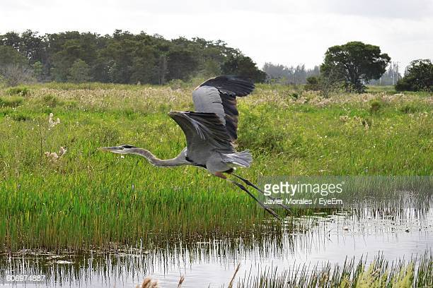 Gray Heron Flying Over Ditch
