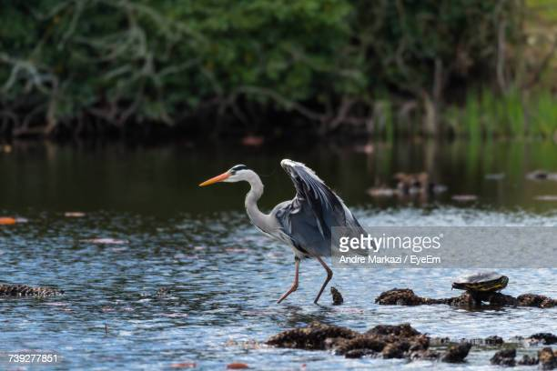 Gray Heron In The Wild