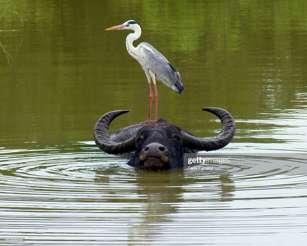 Gray heron on water buffalo
