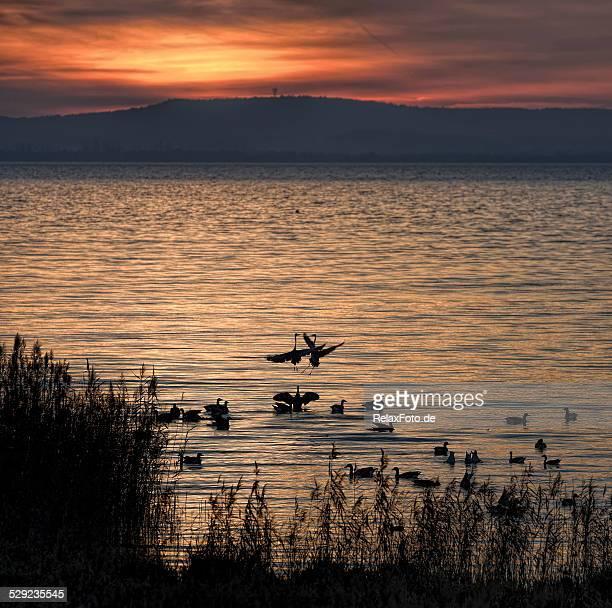 Gray hérons de confrontation au crépuscule sur le lac Steinhuder Meer