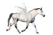 Gray horse pegasus trotting isolated on white background