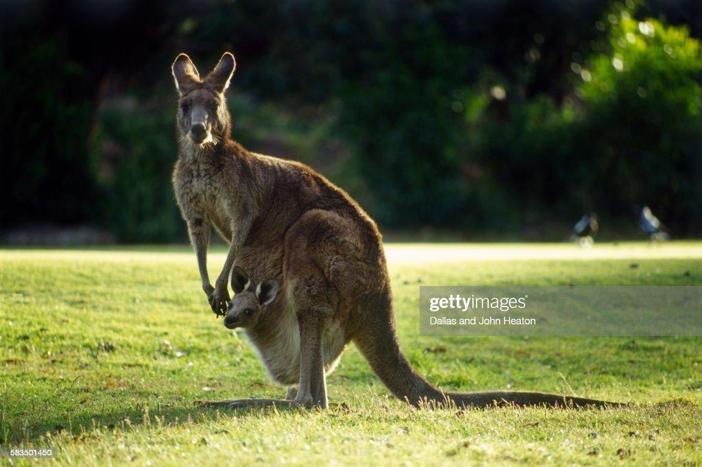 Gray Kangaroo and Joey