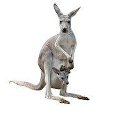 female gray kangaroo with joey in pouch isolated