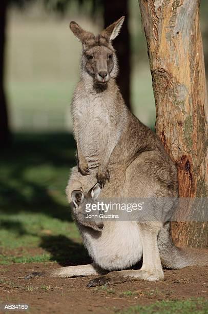Gray Kangaroo (Macropus sp.) with joey