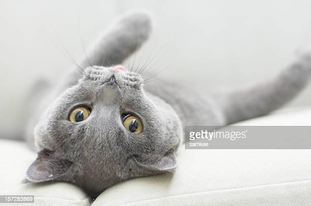 Graue Kätzchen mit Lasche auf einem weißen Sofa