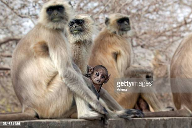 Gray langur / Hanuman langur family with baby in the Ranthambore National Park Sawai Madhopur Rajasthan India