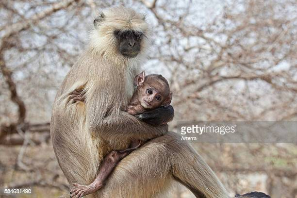 Gray langur / Hanuman langur with baby in the Ranthambore National Park Sawai Madhopur Rajasthan India