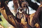 Gray Langur Monkeys in Tree