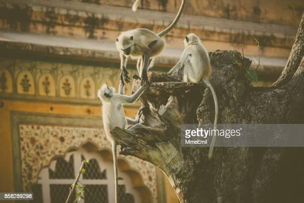 Gray langur monkeys