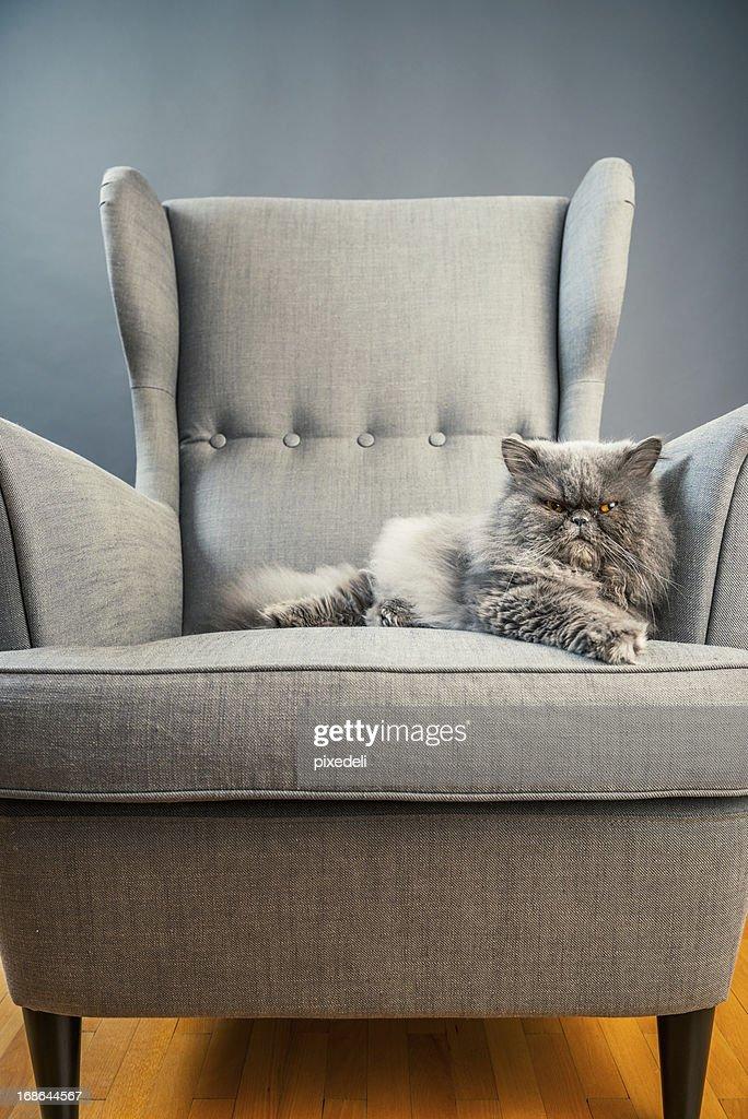 Gray persian cat on armchair : Stock Photo