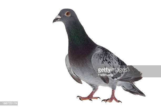Gray pigeon isolated on white