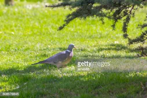 gray pigeon walking on grass : Stock Photo