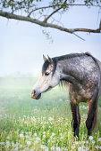 Gray purebred horse on pasture