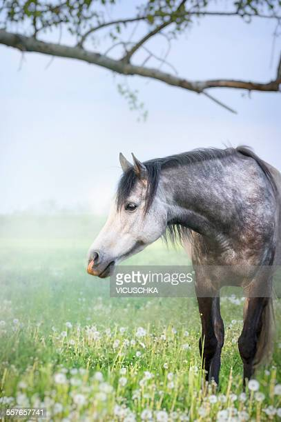 Gray purebred horse on pasture
