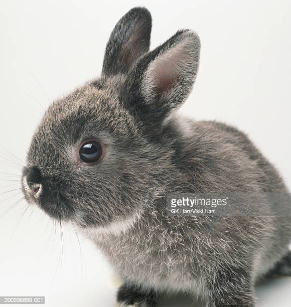 Gray rabbit, close-up
