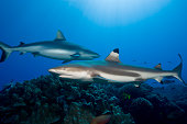 Gray reef shark and  Blacktip reef shark