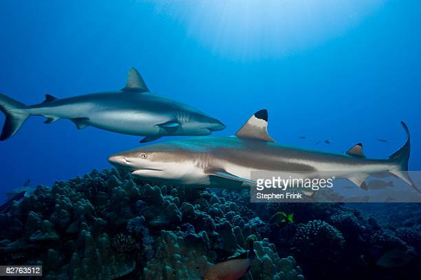 Gray reef shark and  Blacktip reef shark