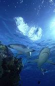 gray reef shark: carcharhinus amblyrhynchos  w.coral  niue