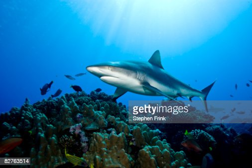 Gray Reef Shark (Carcharhinus amblyrhynchos) : Stock Photo