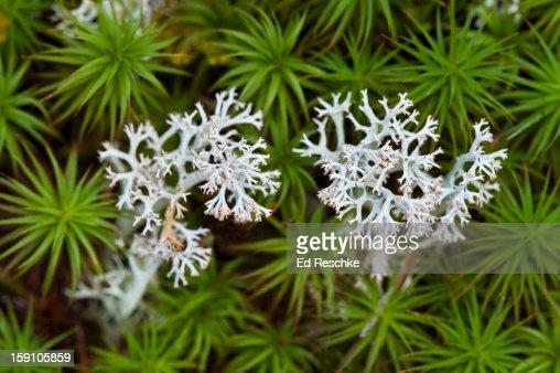 Gray Reindeer Lichen, a Fruiticose Lichen : Stock Photo
