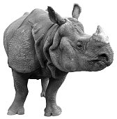 Gray rhinoceros on a white background