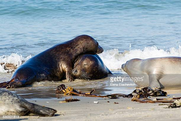 Gray seal family
