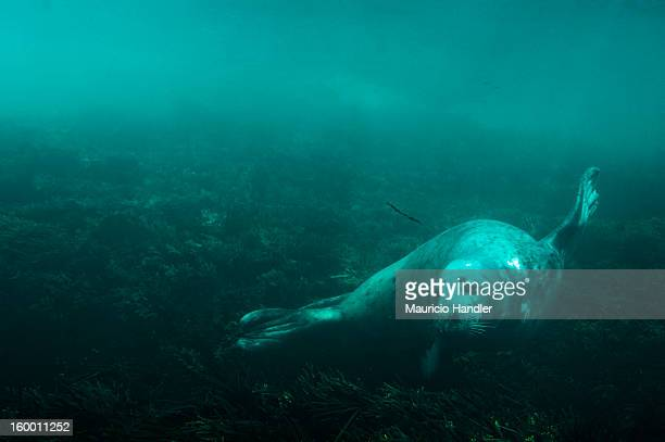 A gray seal swimming underwater at Mount Desert Rock.