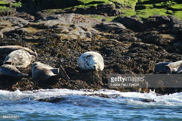 Gray Seals Relaxing On Shore