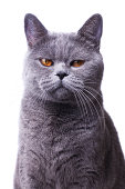 gray shorthair British cat with bright yellow eyes isolated on a white background