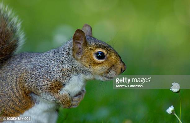 Gray squirrel (Sciurus carolinensis) looking at daisies, side view