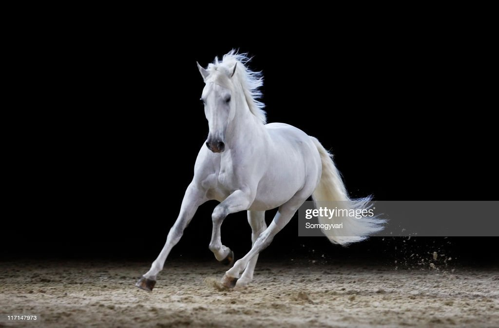 Gray stallion galloping : Stock Photo