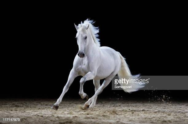 Gray stallion galloping